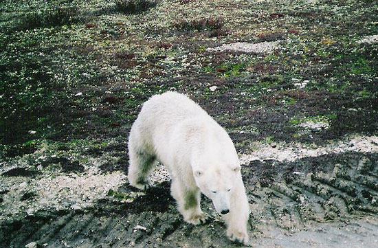 churchill manitoba canada polar bear