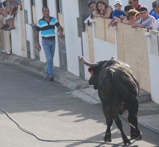 azores terceira bulls bullfights on a rope
