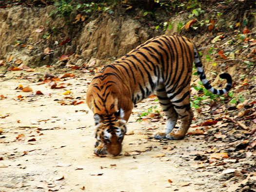 india jim corbett national park tiger