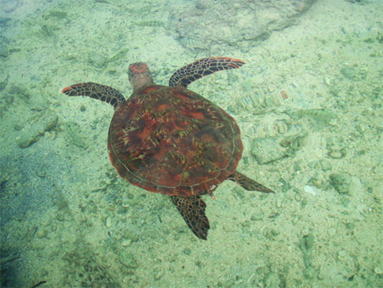 moorea tahiti french polynesia sea turtle wildlife
