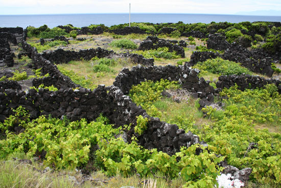 azores pico vineyards lava rocks currais