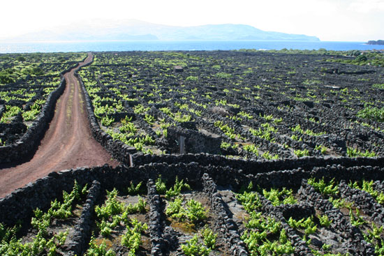 azores pico vineyards lava rocks fields