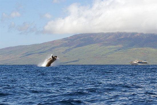 maui hawaii humpback whale breach