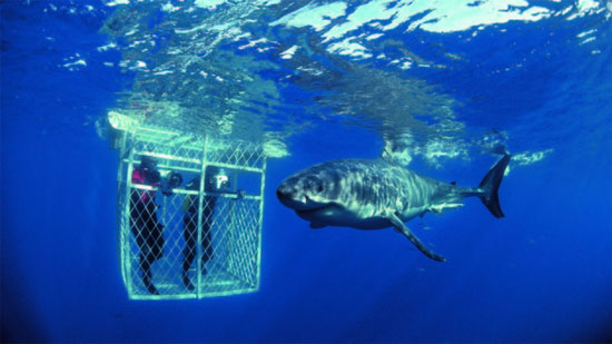 south africa dyer island great white shark dive